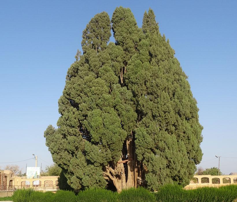 Abarkuh Cypress
